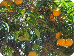 finca_palerm-naranjas